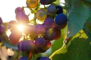 grapes, fruits, sun-3550742.jpg